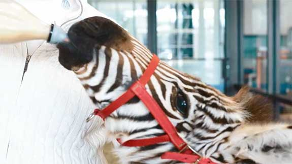 Silverdale the Zebra