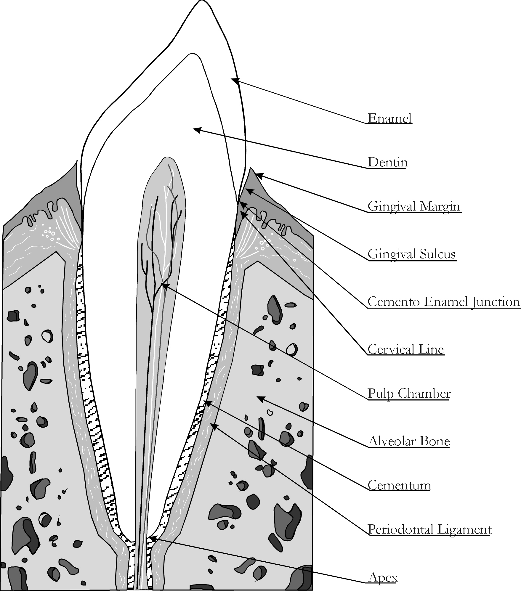 Dental Structure Anatomy of Dogs | Safari Veterinary in League City, TX