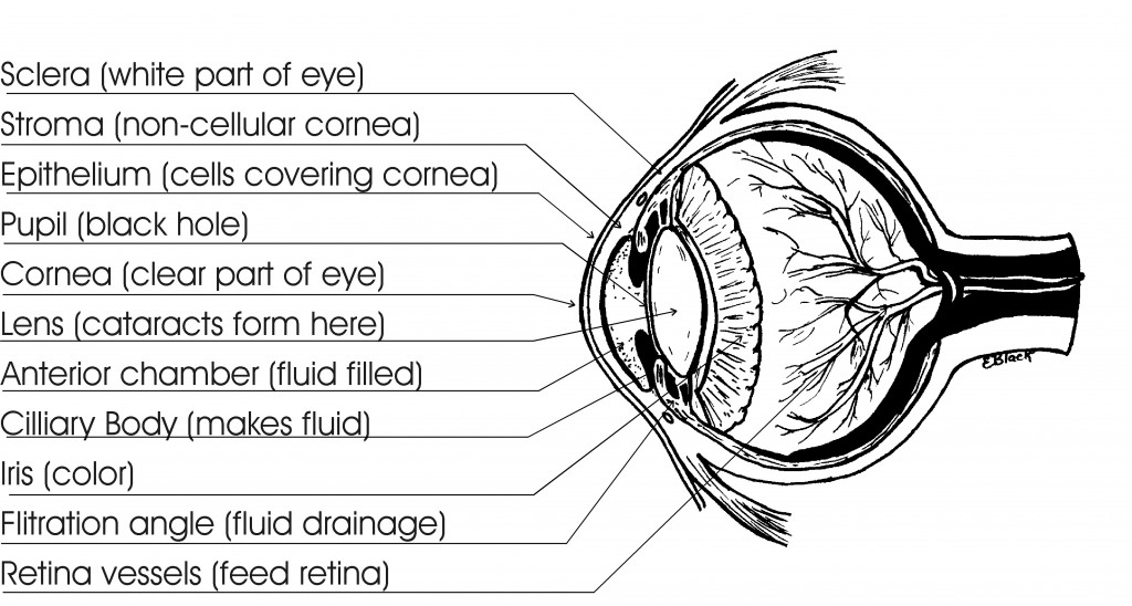 eye_structure_1