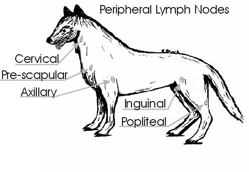 Lymph nodes in pets safari veterinary care centers in league city tx for example dogs with demodex will actually have mites present in their lymph nodes pets with bacterial infections will have bacteria within their lymph ccuart Choice Image
