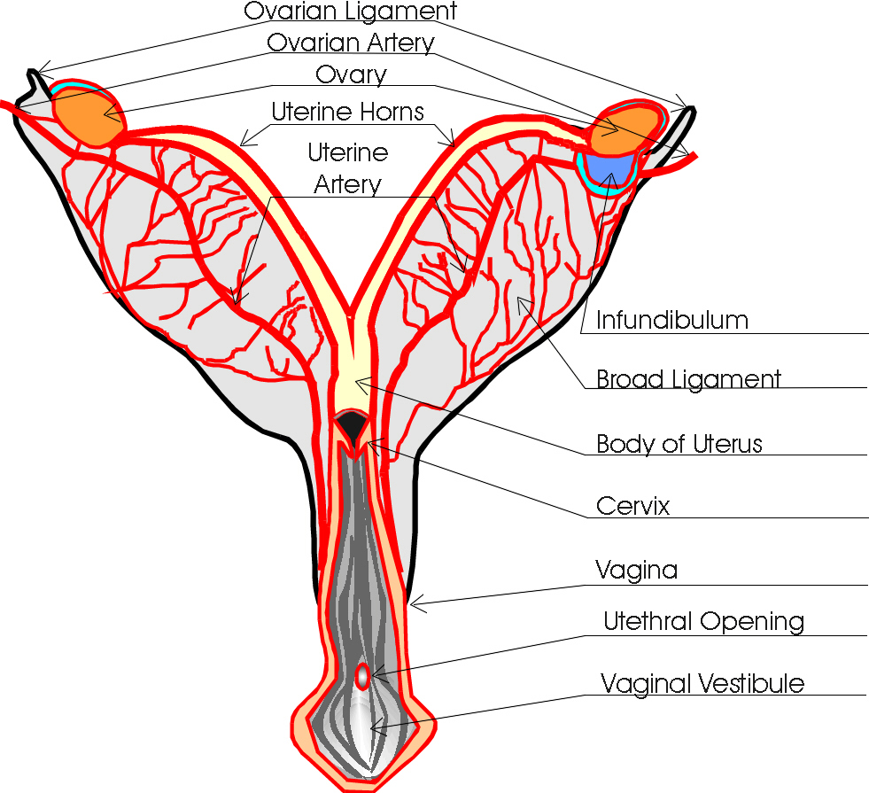 Female Dog Urethra Diagram - Trusted Wiring Diagram •