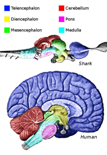Anatomy of the brain safari veterinary care centers in league city tx the brain coordinates all the body functions all mammals have a similar brain structure the cerebral hemispheres blue in diagram ccuart Image collections