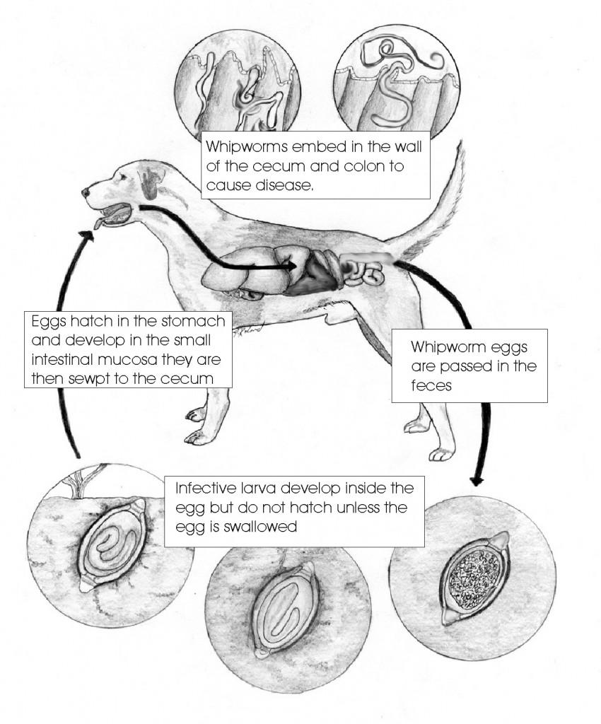 parasiticworms_figure15