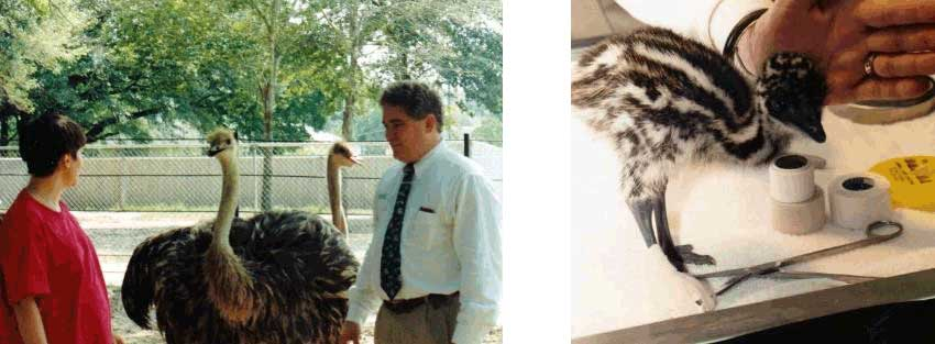Dr. Garner examining ostriches & Bandage Treatment of Baby emu with crooked toes