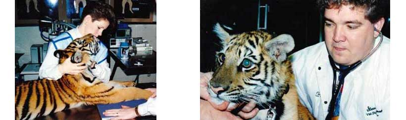 Tiger radiographs for metabolic bone disease from poor diet & Dr. Garner examining tiger