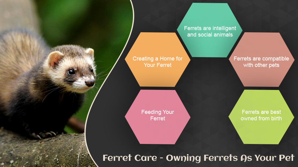 Ferret Care - Owning ferrets as your pet