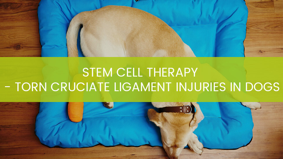Stem Cell Treatment - Torn Cruciate Ligament Injuries in Dogs