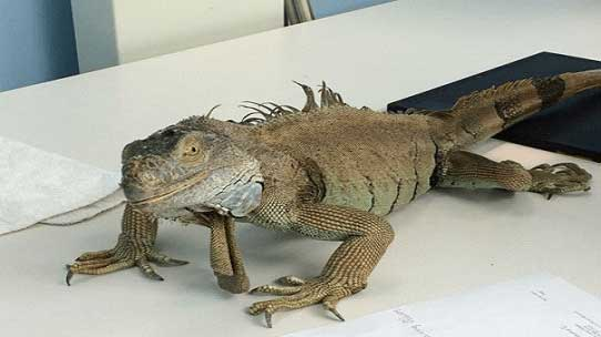 iguana-metabolic-bone-disease