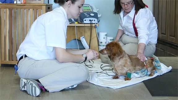 Pet receiving Electrostimulation Therapy