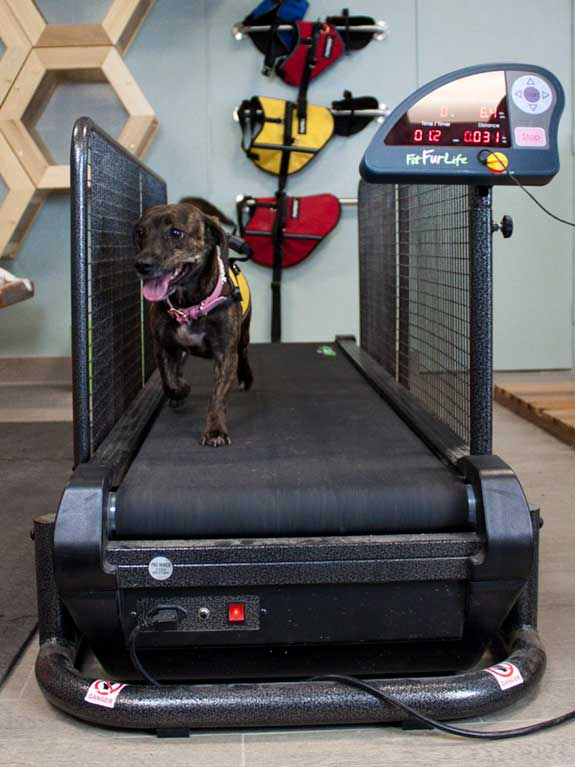 Pet on Land/Dry Treadmill