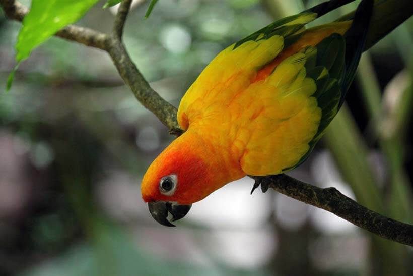Image of a Tiger Parrot