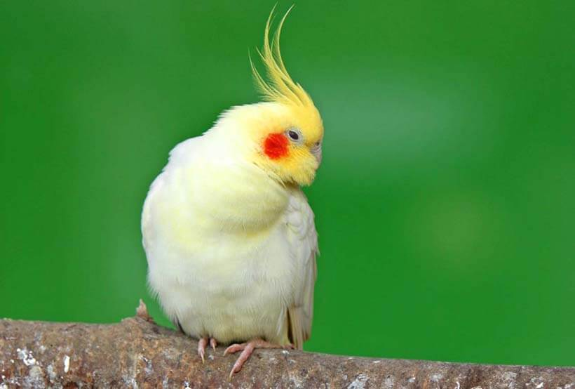 Image of a Cockatiel