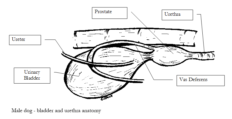 Male dog – bladder and urethra anatomy