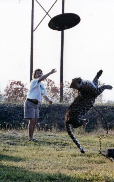 Chauncy the leopard playing frisbee with trash can lid