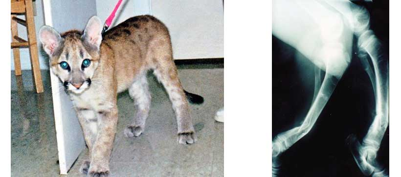 Simba after healed fractures & Simba's radiographs