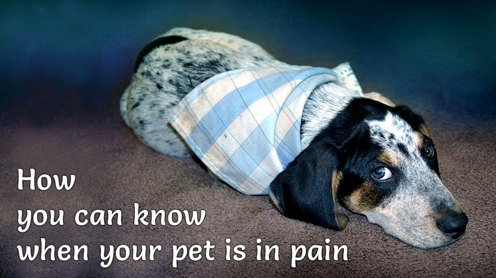 Pet is in pain