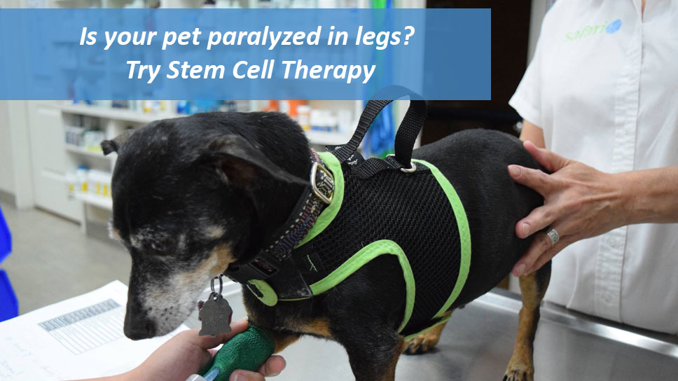 is-your-pet-paralyzed-in-legs-try-stem-cell-therapy-at-safari-vet