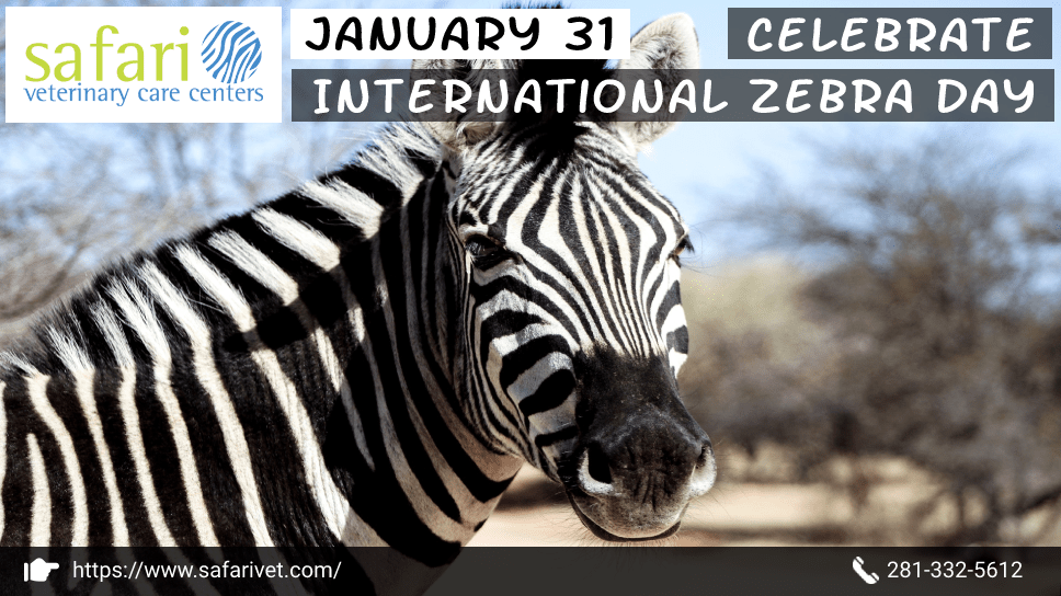 january-31-celebrate-international-zebra-day