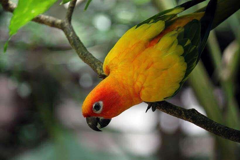 chlamydia-in-parrots