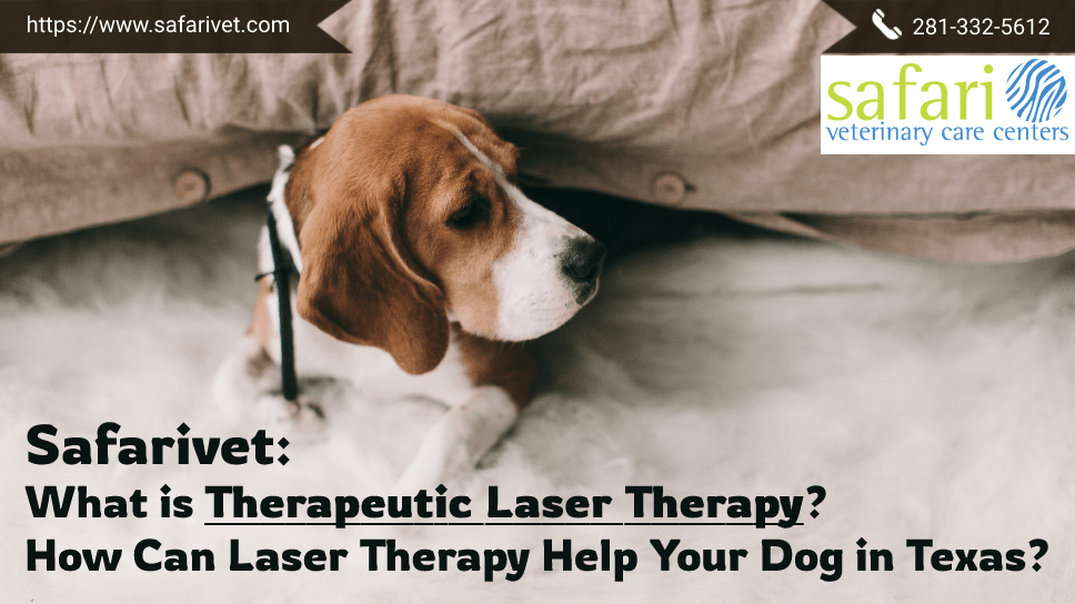 safarivet-what-is-therapeutic-laser-therapy-how-can-laser-therapy-help-your-dog-in-texas
