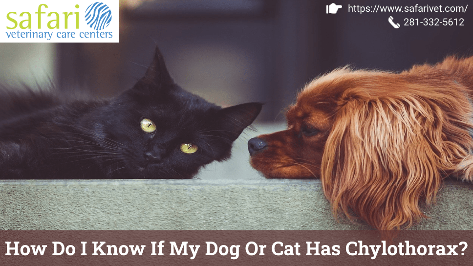 how-do-i-know-if-my-dog-or-cat-has-chylothorax